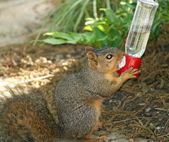 squirrel drinking hummingbird feeder nectar