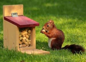 squirrel peanut in the shell feeder