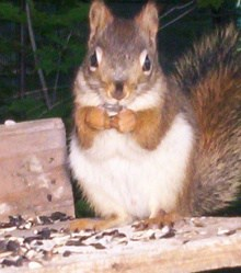 red squirrels are a nuisance at bird feeders
