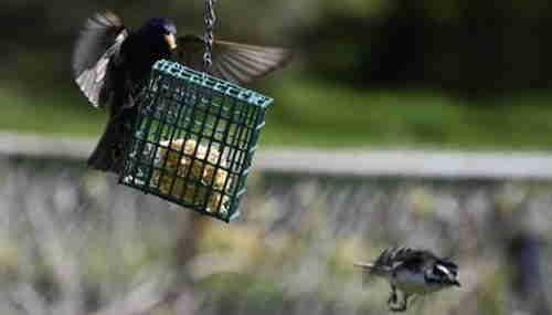 A blackbird at a bird suet