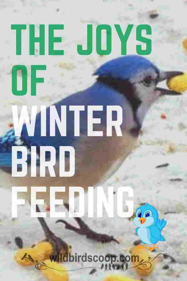 A picture of a Bluejay with food in his mouth. Text reads the joys of winter bird feeding.