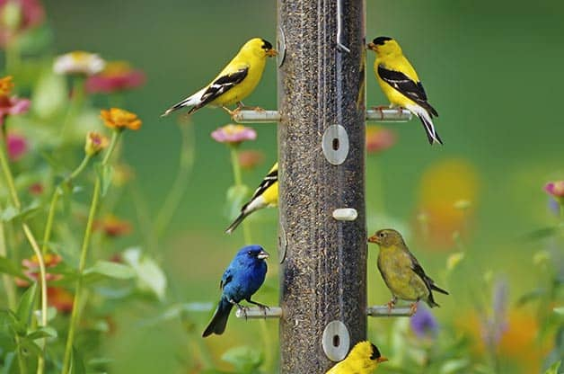 An image of 6 birds eating from a bird feeder. The birds are yellow and blue and there is flowers in the background.