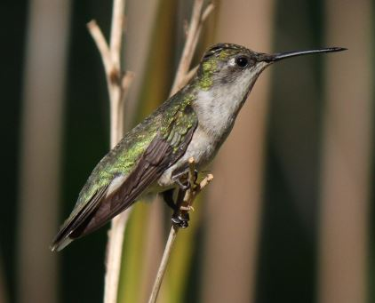 A hummingbird perched on tall grass.