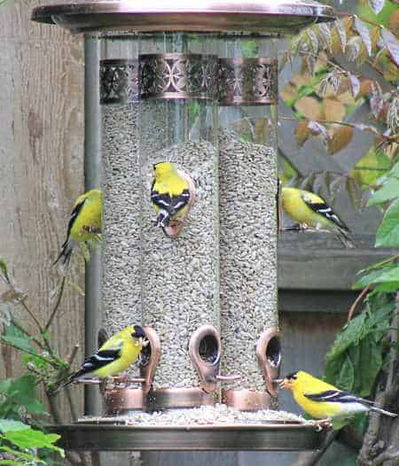 5 goldfinches eating from a large tube feeder