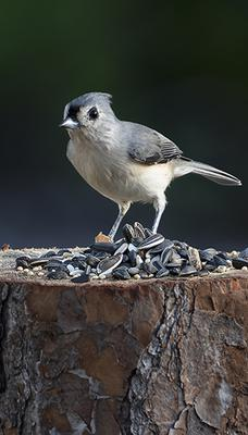 tufted-titmouse-on-stump