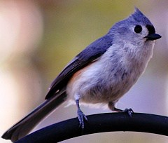 Tufted Titmice - love suet
