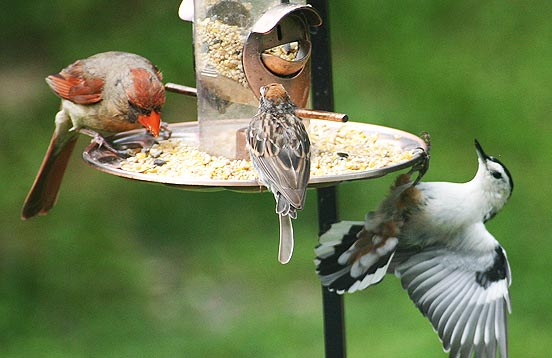 Mixed Sizes of Wild Birds Eating Peacefully Together from a bird feeder