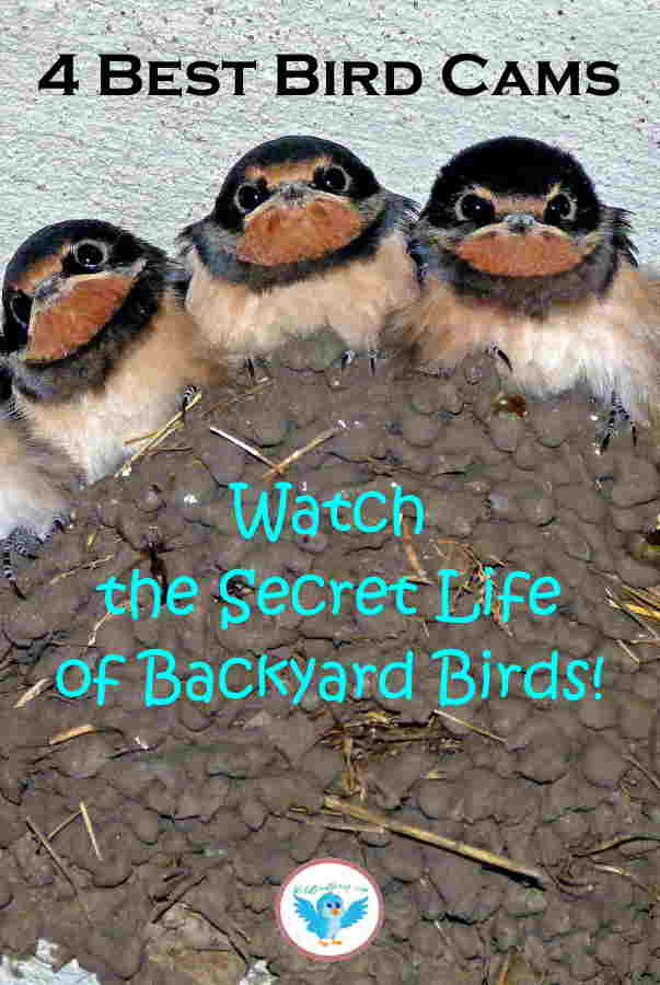 A Pinterest image with 3 baby birds with heading text that reads 4 Best Bird Cams