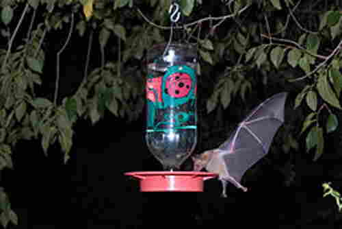 A picture of a bat drinking hummingbird nectar