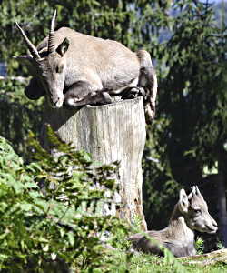 A wild animal with horns perched on top of a dead tree.