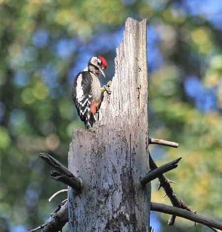 woodpecker on dead tree