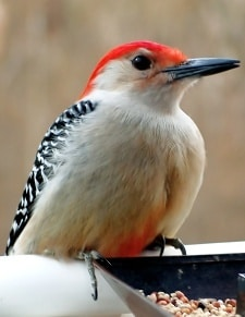 Male Red-bellied Woodpecker perched on a bird feeder.