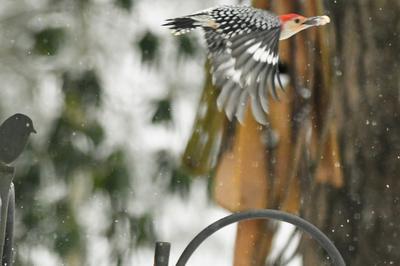 hairy woodpecker on birch tree