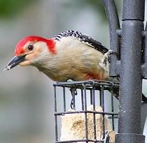 suet feeder with red-bellied woodpecker