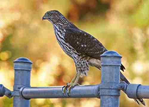 pest control at bird feeders can mean young coopers hawk