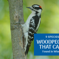 The 9 Woodpeckers of Wisconsin (Pictures)