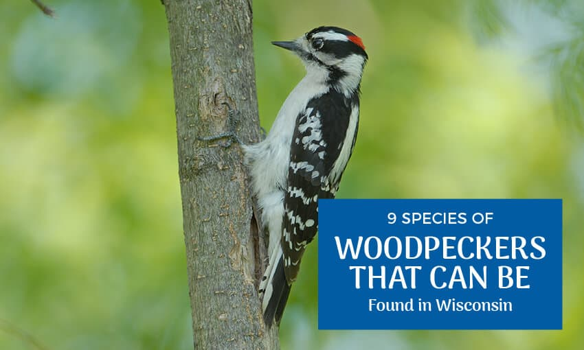 "A woodpecker on the side of a tree with text that reads ""9 species of woodpeckers that can be found in Wisconsin."""