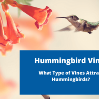 Hummingbird Vines: What Type of Vines Attract Hummingbirds?