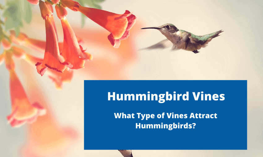 An image of a hummingbird at a trumpet vine.