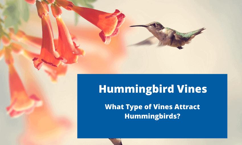An image of a hummingbird at a trumpet vine.