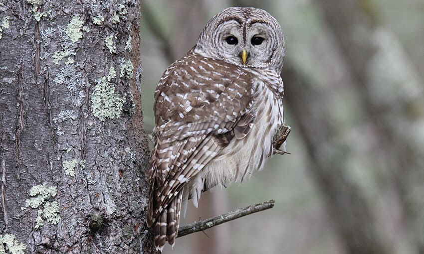 A picture of a barred owl perched on a tree branch. Head turned towards the camera.