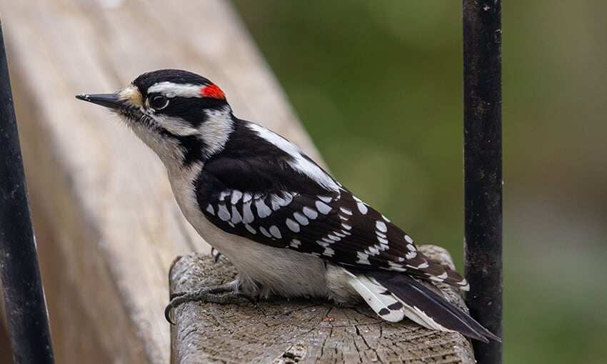 A picture of a Downy Woodpecker perched on a post.