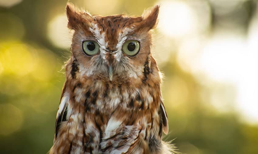 A picture of an eastern screech owl looking at the camera.