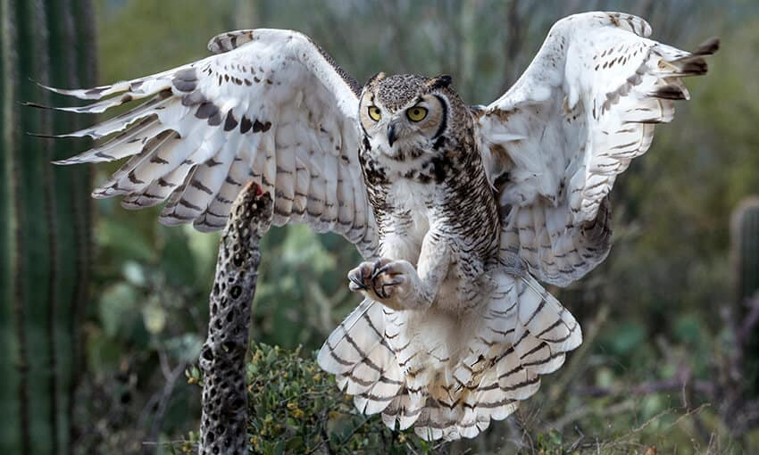 A picture of a great-horned owl getting ready to land on a branch.