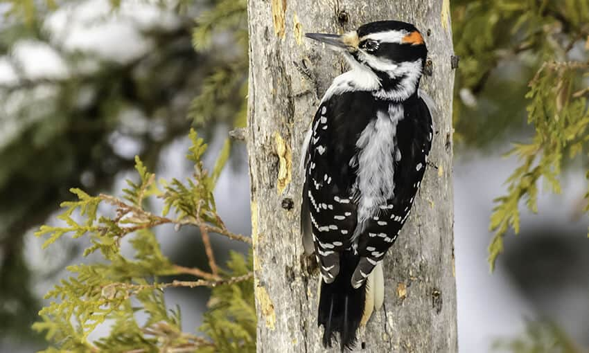 A picture of a Hairy Woodpecker on the side of a tree, head turned to the left.