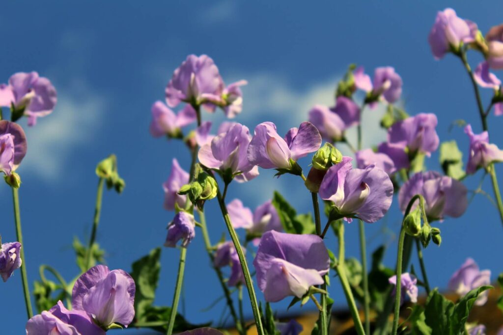 A picture of the hyacinth bean plant.