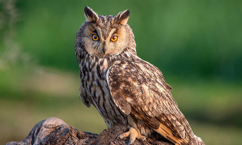 A picture of a long-eared owl perched on a stump looking at the camera.