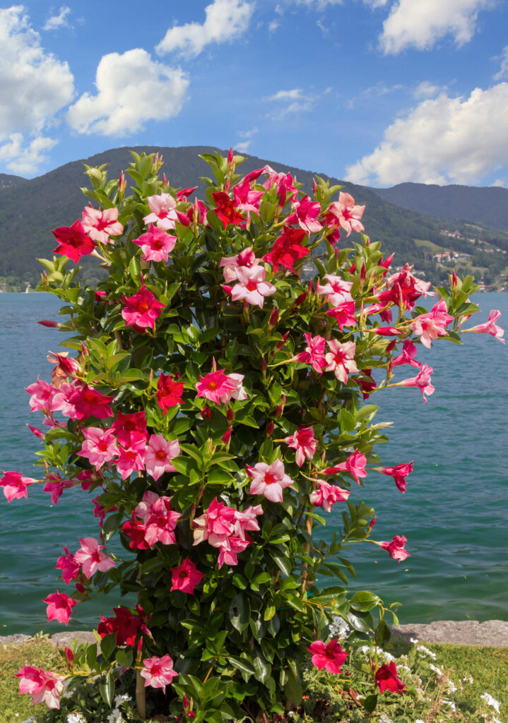 A picture of pink and red mandevilla vines.