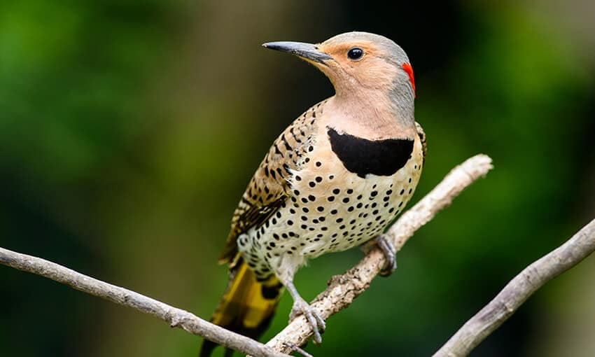 A picture of a Northern Flicker perched on a tree branch, head turned to the side.