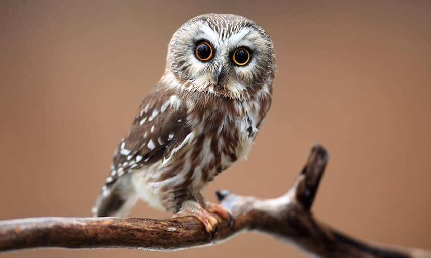 A picture of a northern saw-whet owl perched on a branch.