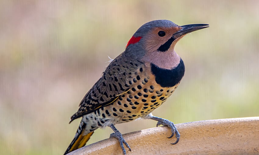 A Northern Yellow-shafted Flicker perched an unknown object.
