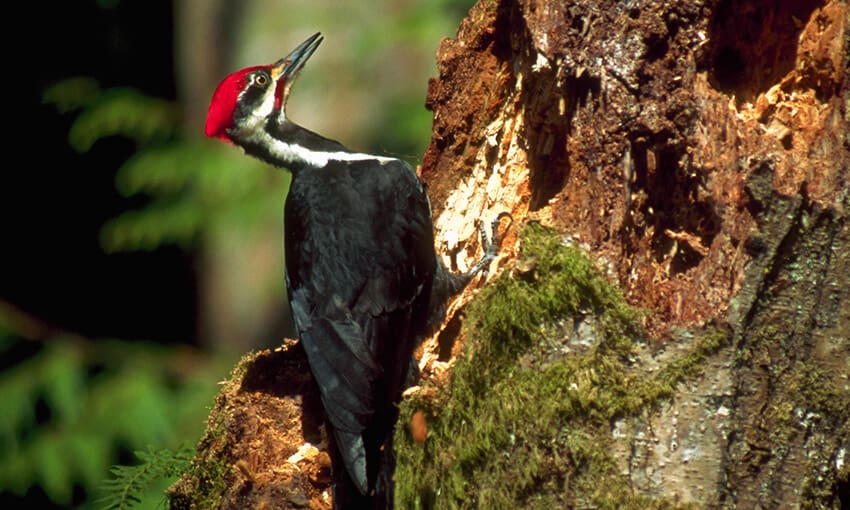 A picture of a pileated woodpecker standing on the side of a tree with woodpecker holes in front of him.