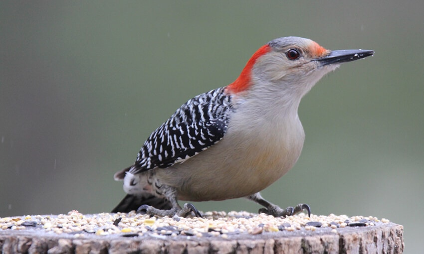 A closeup of a red bellied woodpecker. The woodpecker is standing on top of a tree stump with bird food on it.