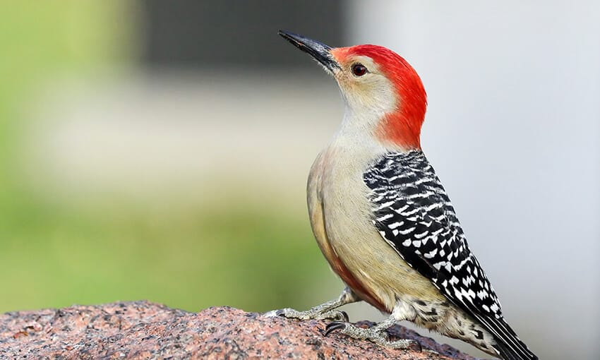 A picture of a red-bellied woodpecker standing on an unknown object, gassing off into the distance.
