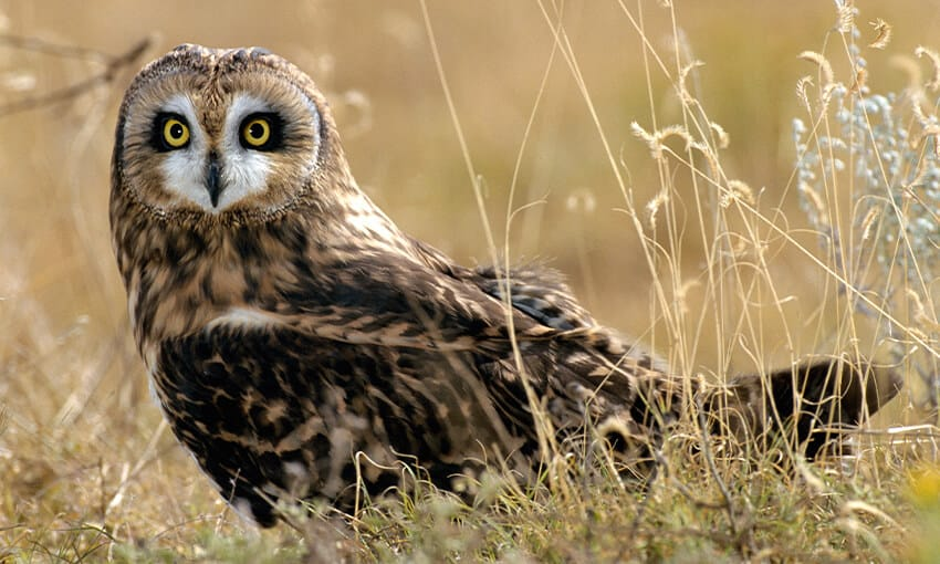 A picture of a  short-eared owl standing on the ground amongst some long, dry weeds.