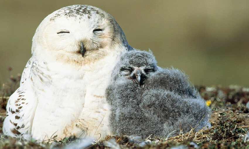 A picture of a snowy owl nestled up next to a baby snowy owl. Both appear to be sleeping.