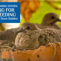 Baby Mourning Doves: Caring for and Feeding Abandoned Dove Babies