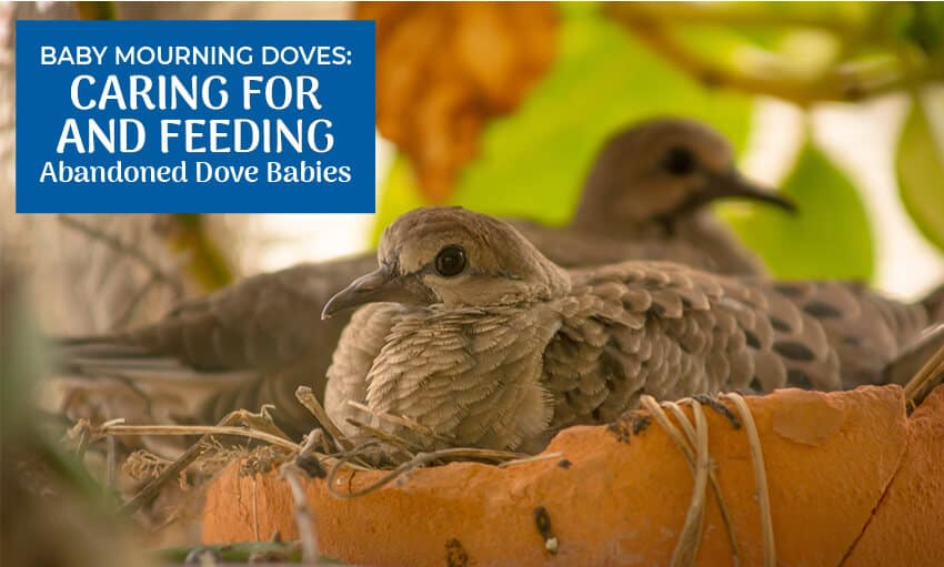 A picture of two mourning doves in a nest. Text reads
