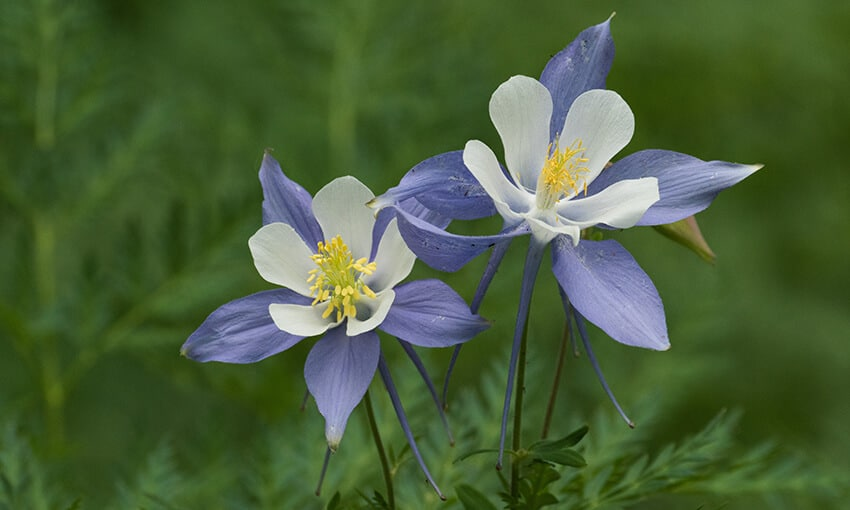 A picture of columbines.