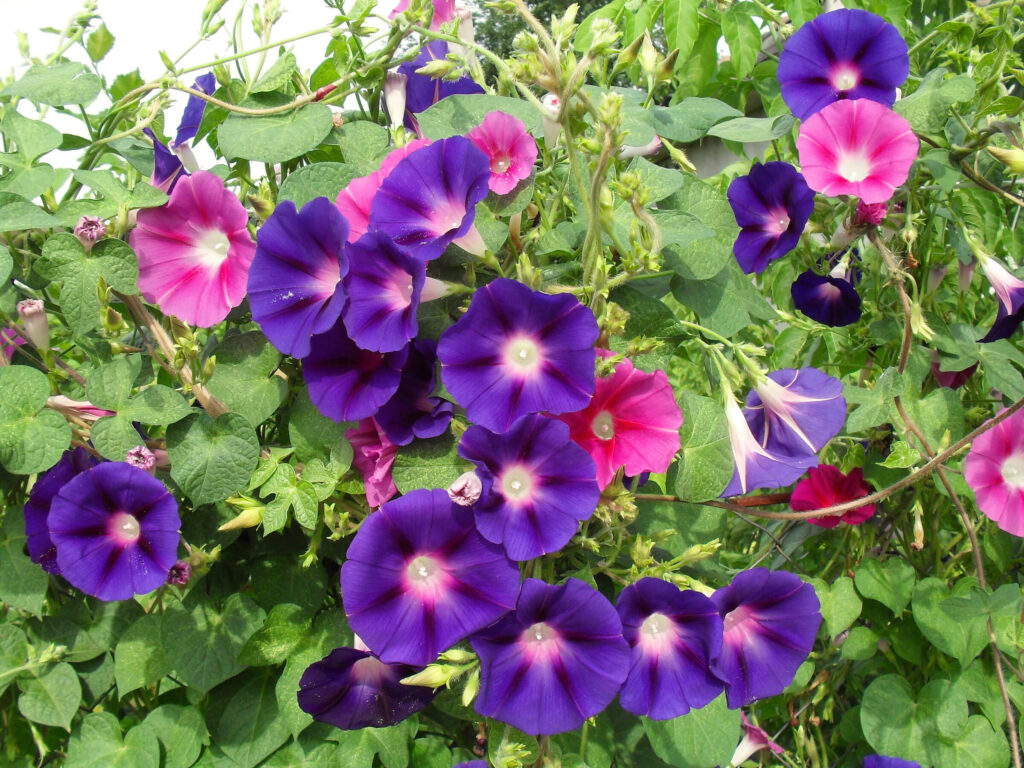 A picture of purple and pink cypress vine plants.