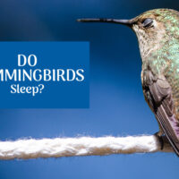 Do Hummingbirds Sleep? If so, how?