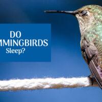 Do Hummingbirds Sleep? If so, how?