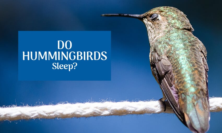 "A picture of a hummingbird perched on a twig. Text reads ""Do hummingbirds sleep?"