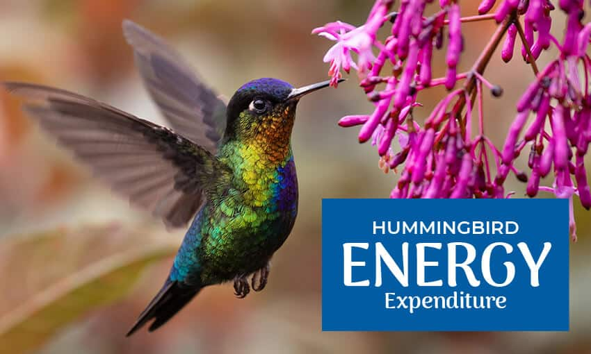 """A picture of a hummingbird flying in front of a pink flower. Text reads """"hummingbird energy expenditure."""""""