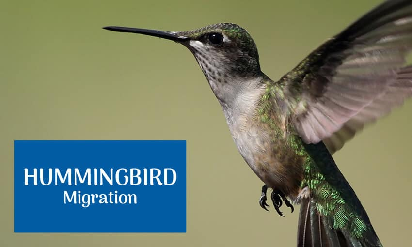"""A picture of a hummingbird flying with text that reads """"hummingbird migration."""""""