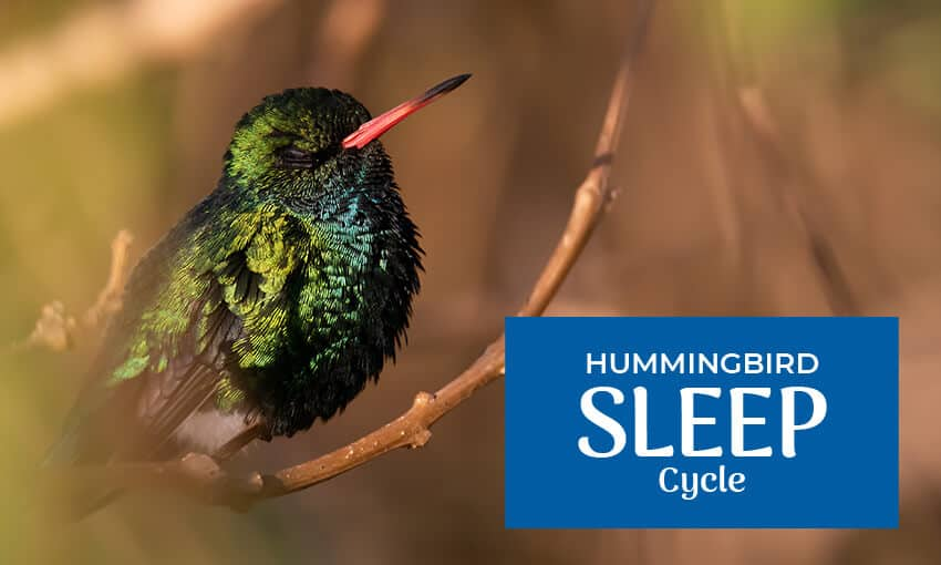 A picture of a hummingbird sleeping a on a twig. Text reads